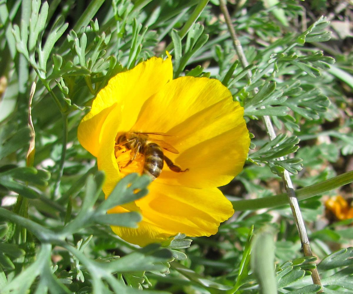Bee visits a poppy