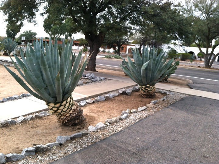 Trimming Agaves You Probably Don T Need To Tucson Com