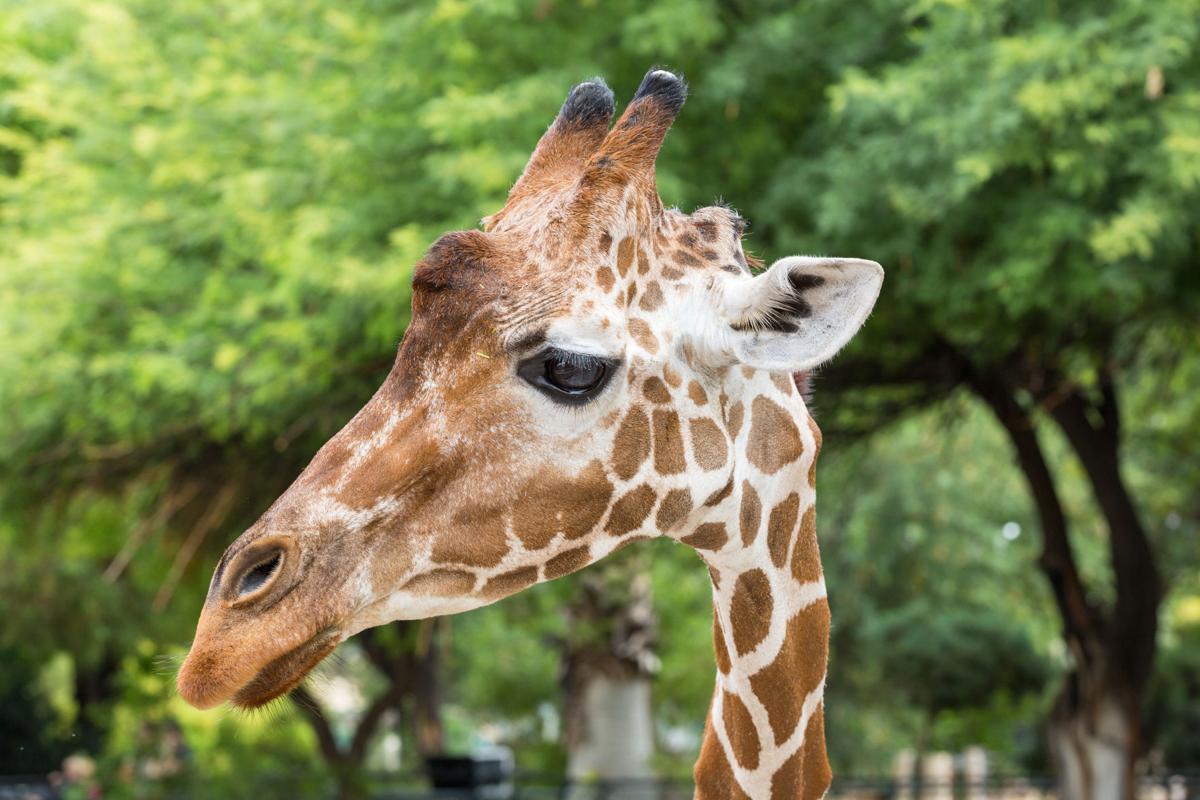 Zoo giraffe euthanized