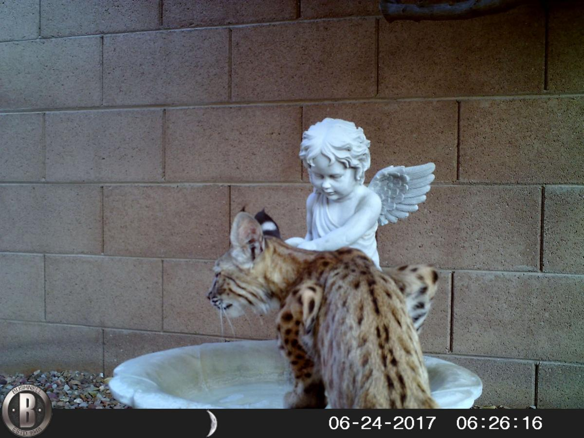 Baptized Bobcat