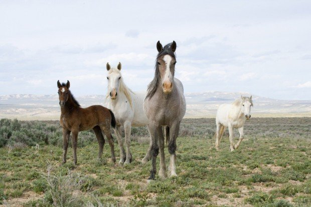 Wild horses Saved, slaughtered, much-studied