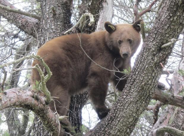 Sierra Vista's bears evade hunters