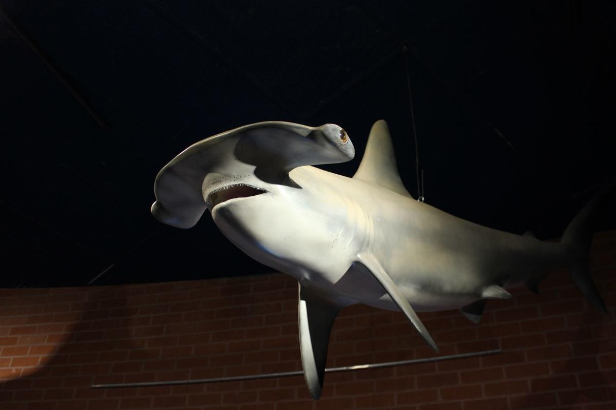 Closer look: Check out a 7-foot Hammerhead shark at Flandrau