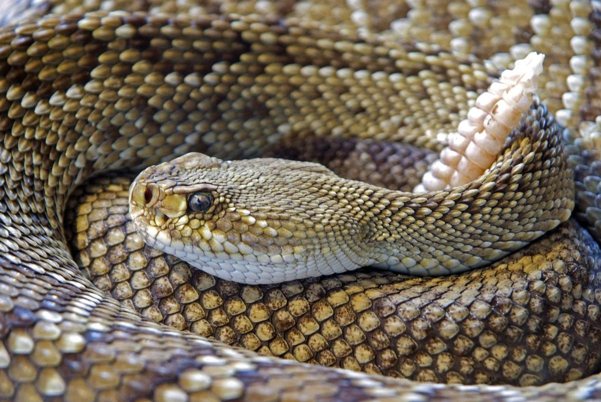 University of Arizona doctor's research could buy time for snake bite victims