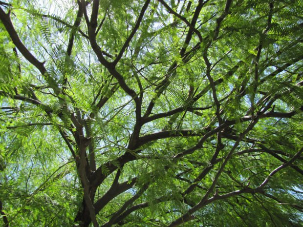 Mmm mmm mesquite tips on how to identify best trees and pods all things green in tucson - Tell tree dying order save ...