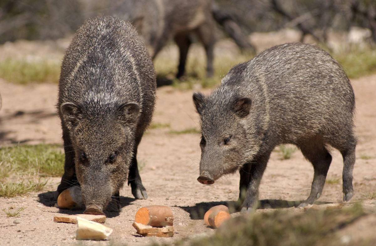 Saturday, August 27 — Take a lesson in javelinas (copy)