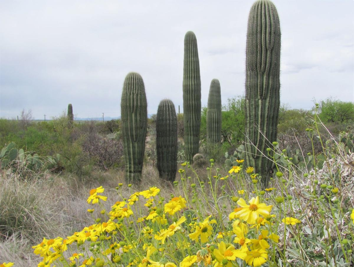 Saguaros and blooms
