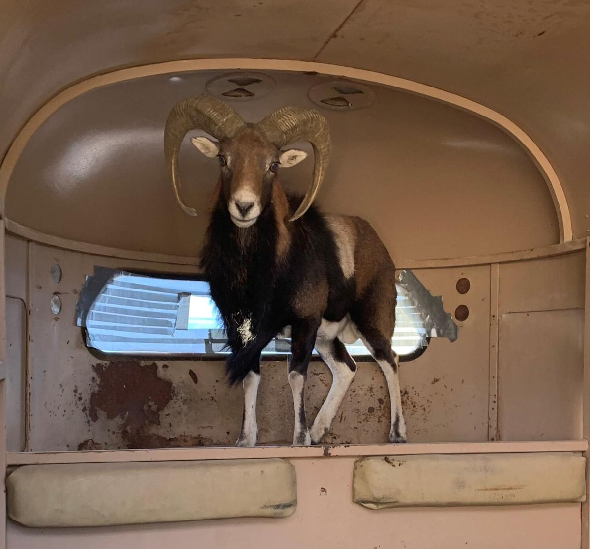 Rogue Mouflon sheep