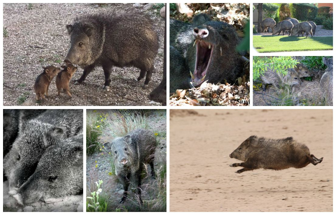 Photos that prove javelinas are cuties of the desert