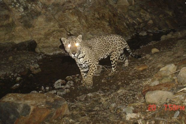 Hunter's 'great' jaguar photo was altered, game agency says
