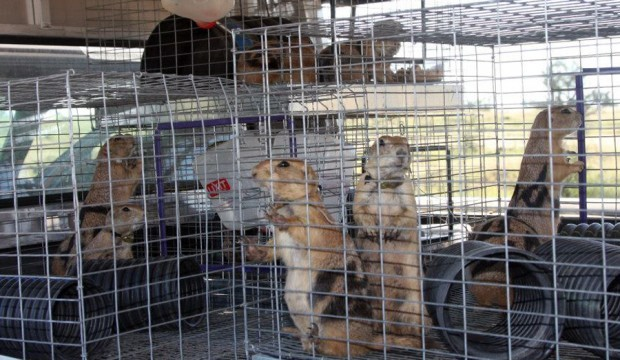 Black-tailed prairie dogs moved to new digs
