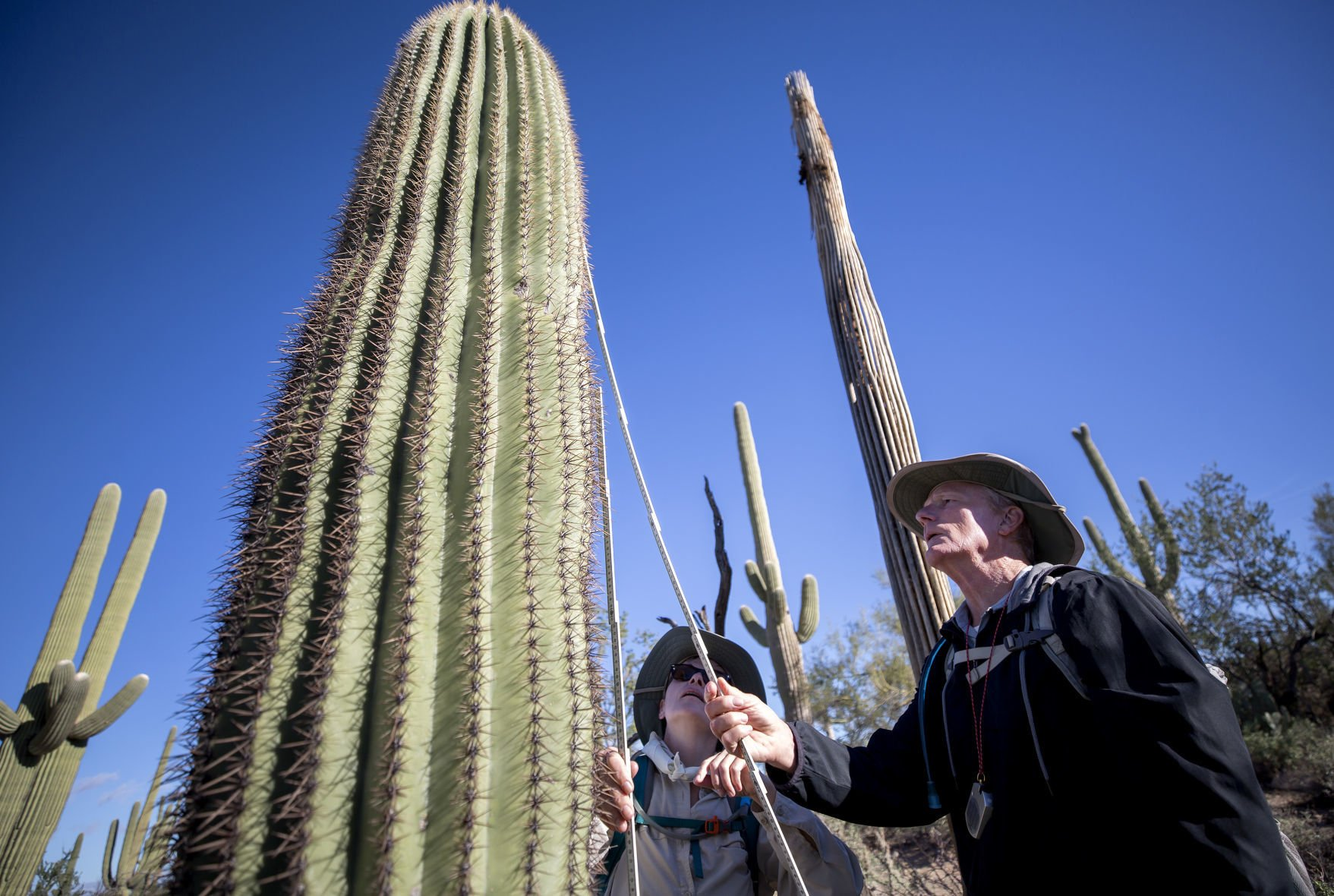 Saguaros stand up to be counted in latest park service census