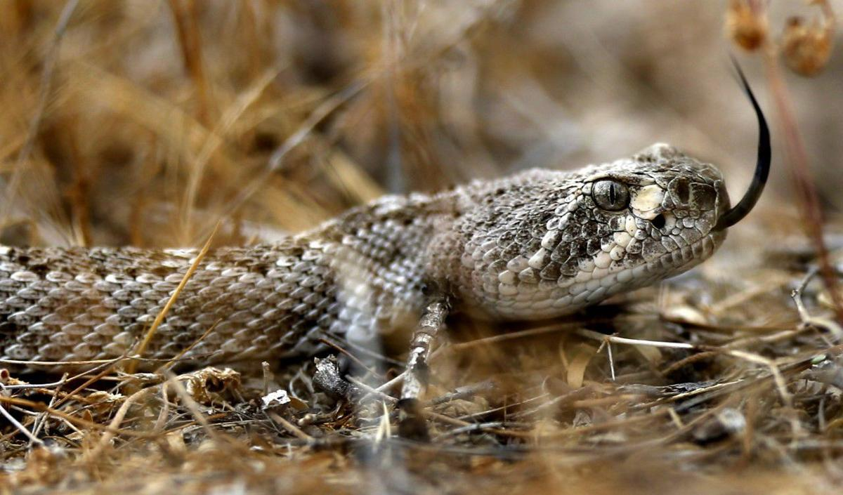 Science of a slithering slumber: Rattlesnakes settle in for winter snooze