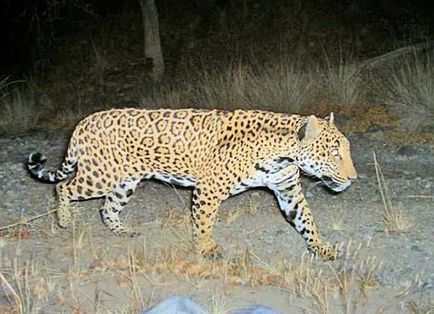 US seeks to shield jaguar habitat