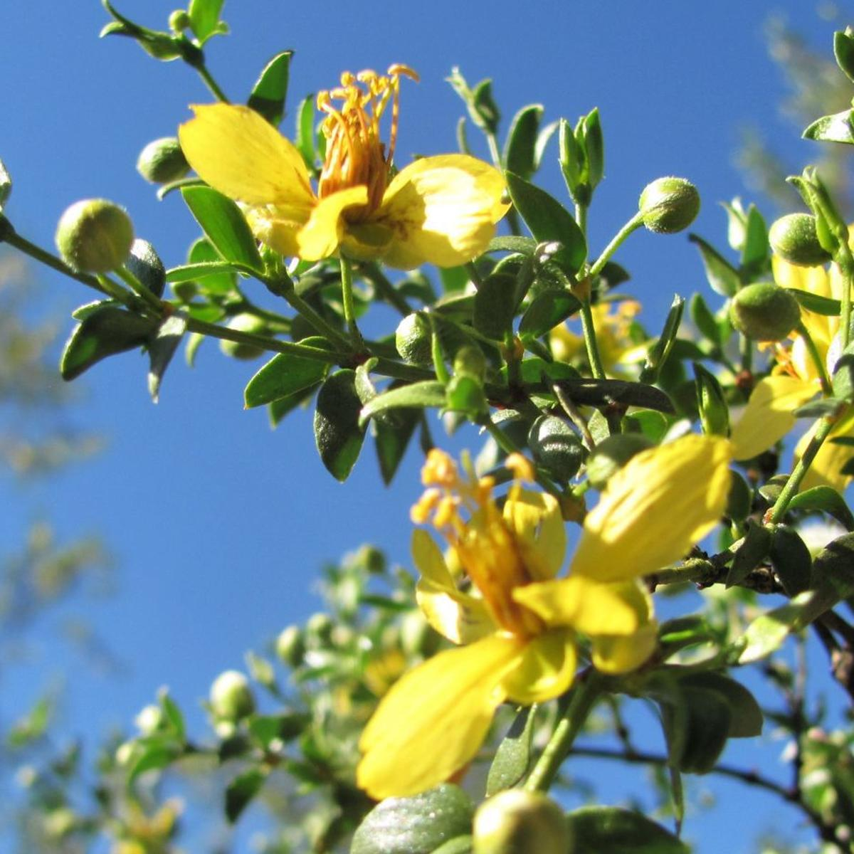 Creosote Bushes Are Old Really Old And Blooming This Spring