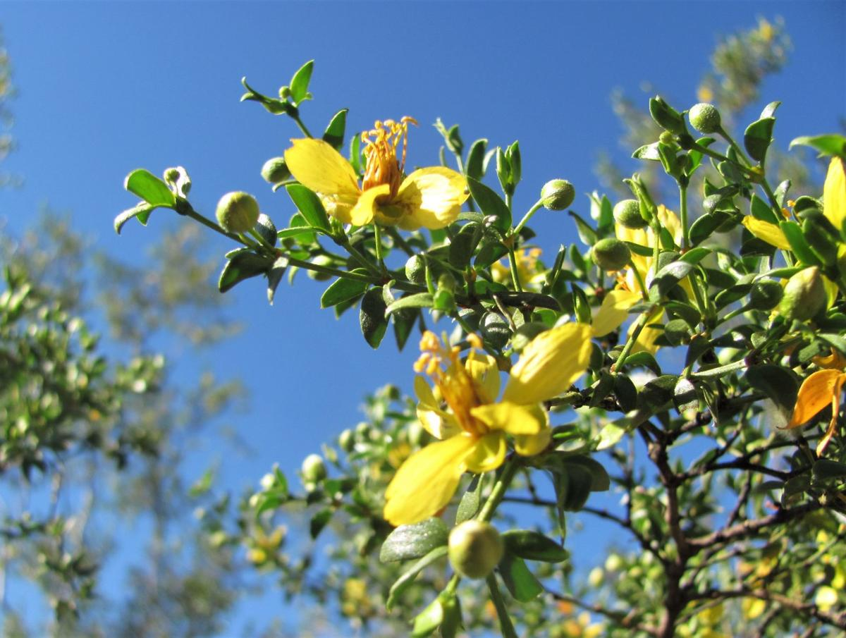 Creosote blooms