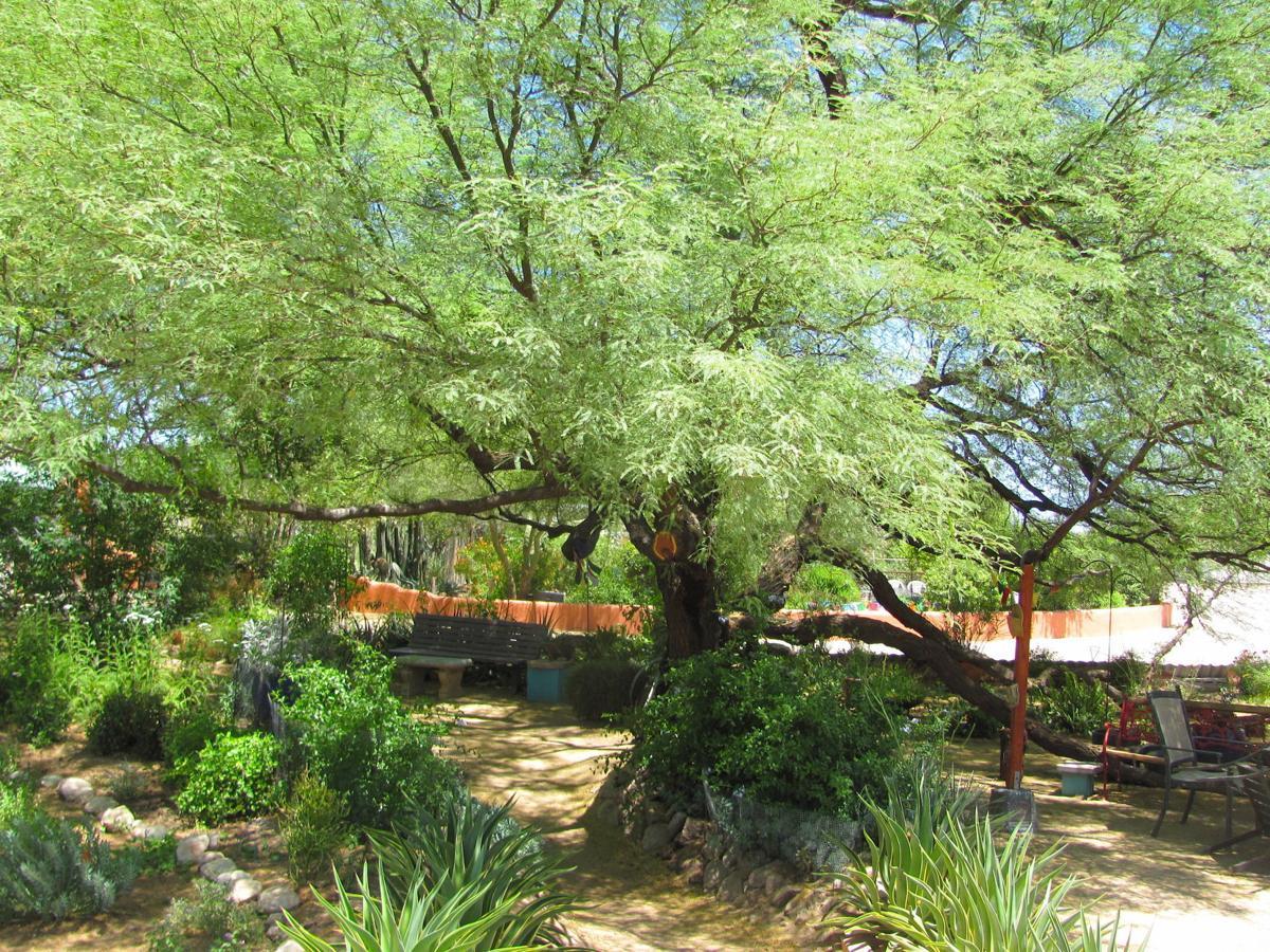 Huge mesquite