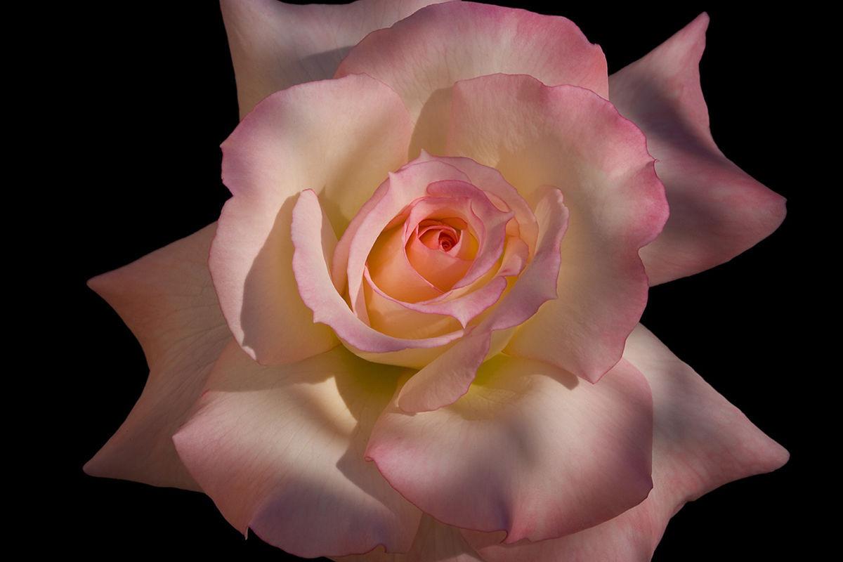 Rose Named Secret (Photo By Lou Pavlovich)   Rose Society Of Tucson