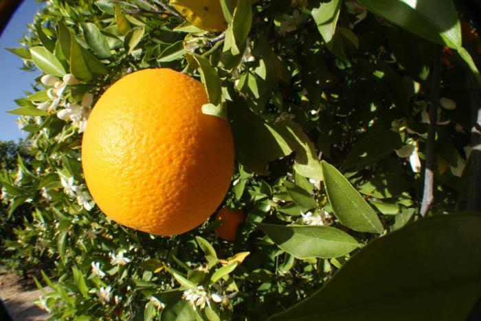 Oranges, anyone?