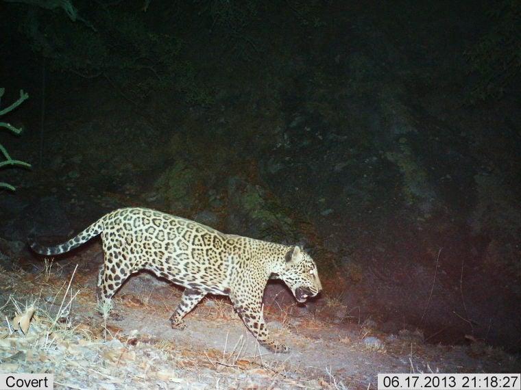 Jaguar seen in Santa Rita Mountain by motion cameras