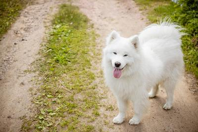 Samoyeds Oro Valley Dog Barking