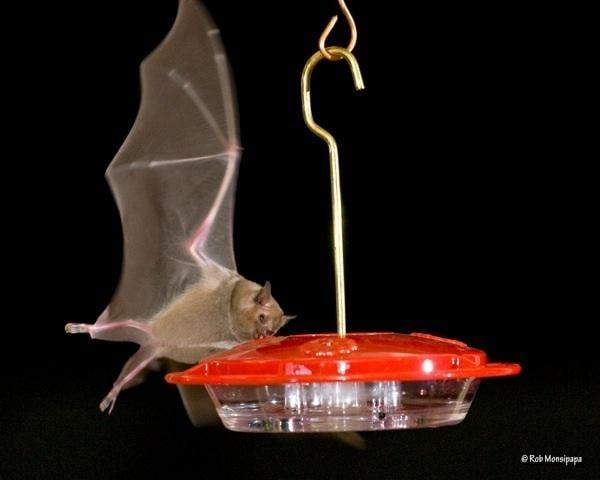 NW hummingbird feeders invited to check use by nectar-feeding bats