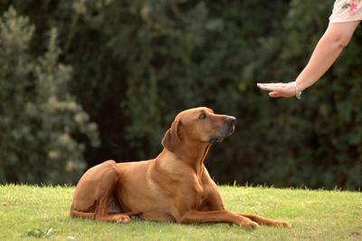 Dog Obedient