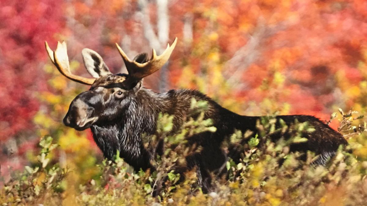 Olmsted_moose.JPG