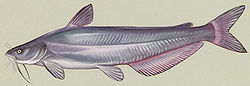 bluecatfish#2.jpg