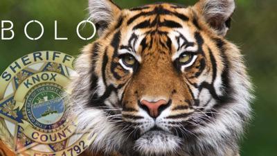 Knox county tiger
