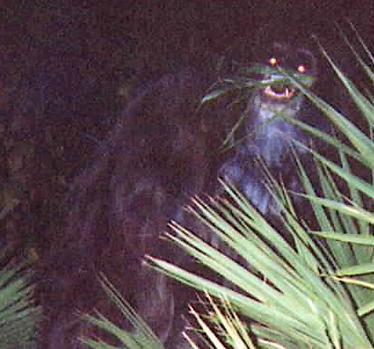 sqcrop swamp ape.jpg