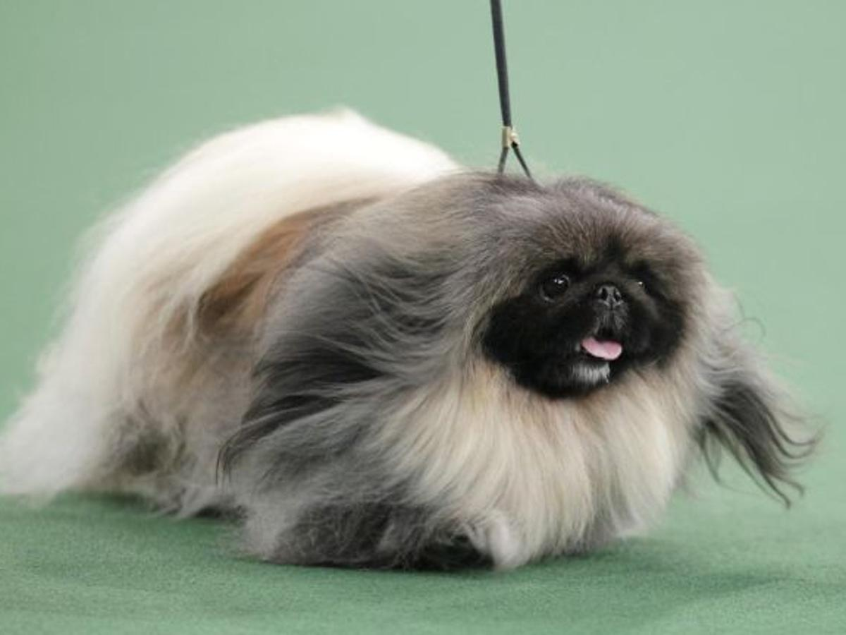Pekingese Becomes America S Top Dog At Westminster News