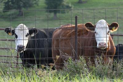 Broker pleads guilty to cattle theft