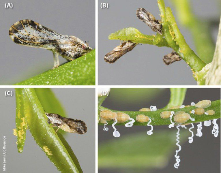 PRICE: Beware of citrus greening in your trees