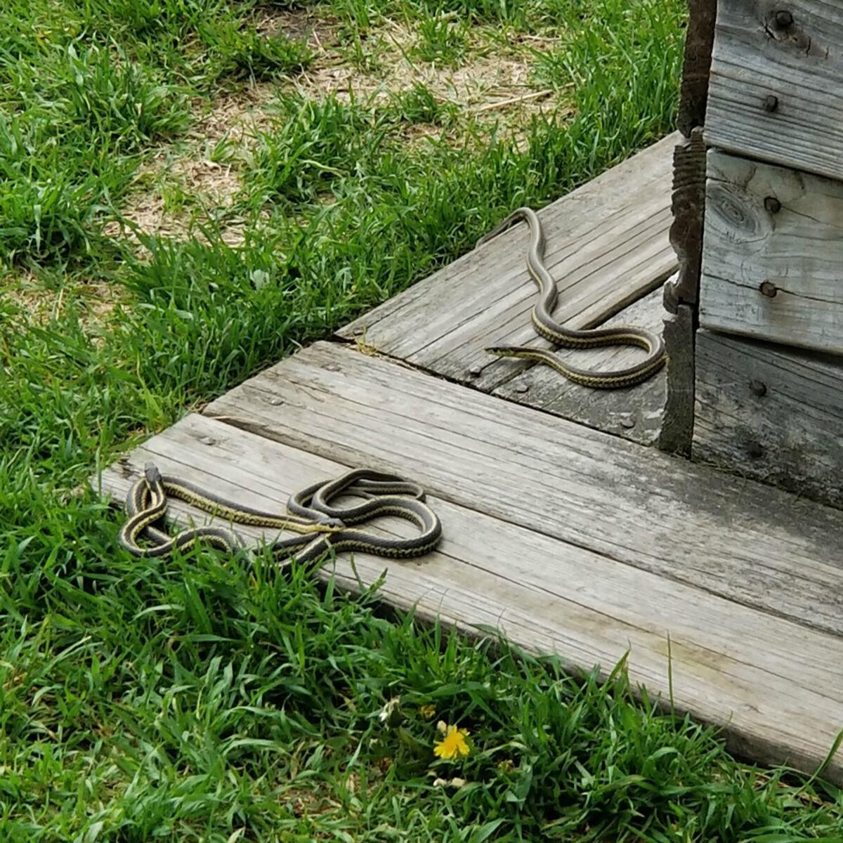Baby Eastern Ribbon Snake friends