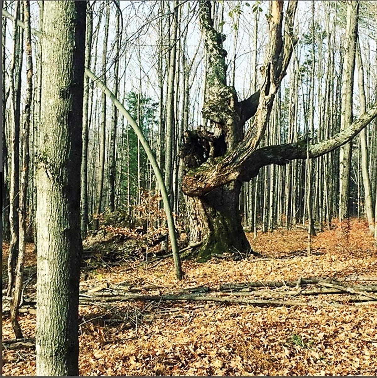 Sugar maple wolf tree