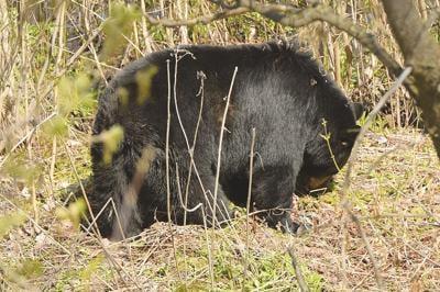 Bears in town