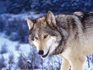 A Stowe woman swears she saw a wolf on Weeks Hill Road recently.