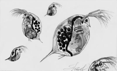 Daphnia are the cows of the lake ecosystem