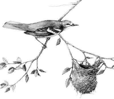 Baltimore oriole's nest