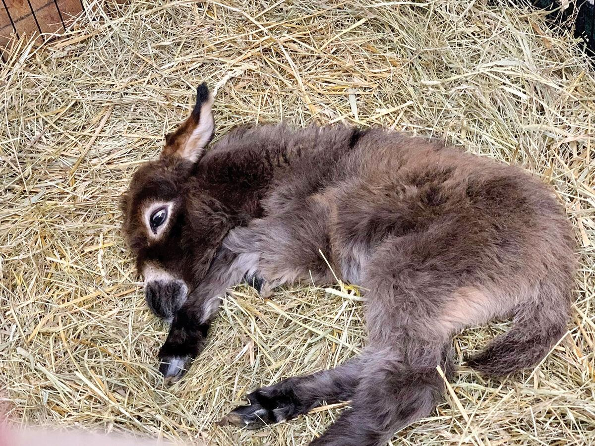 A little donkey relaxes in the hay at the Miniature Farm