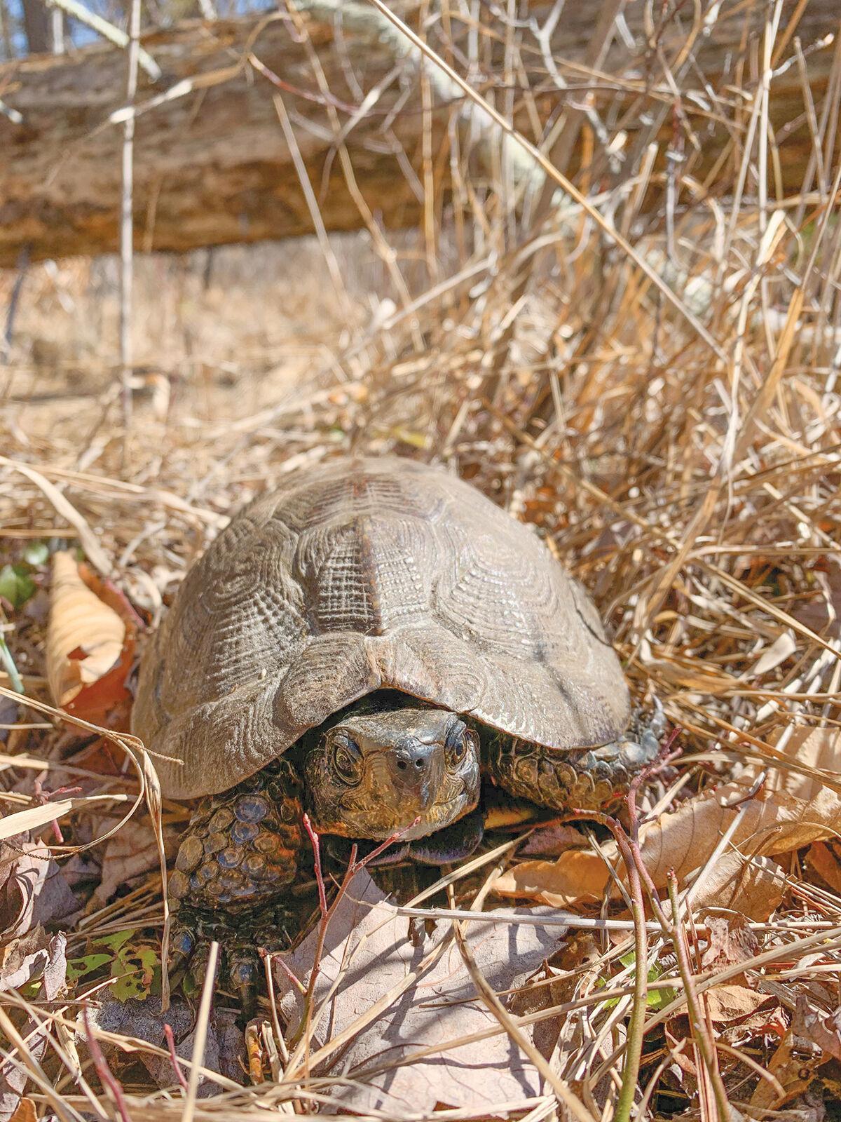 Native Vermont wild turtle