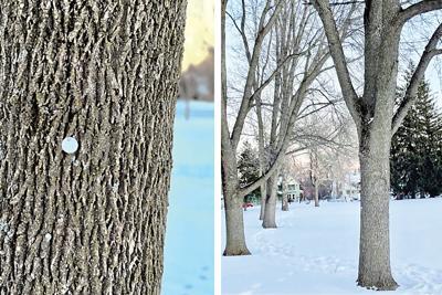 An inoculated ash tree