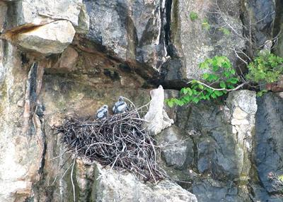 Clifftops and overlooks closed to protect nesting peregrines