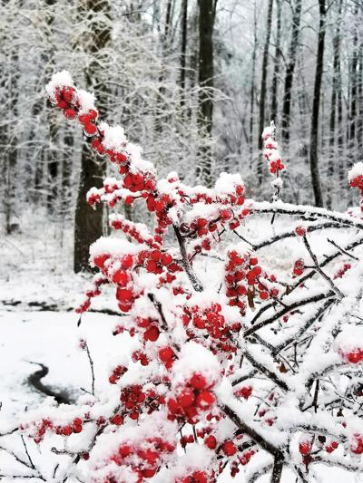 Winterberry: A native of lasting beauty