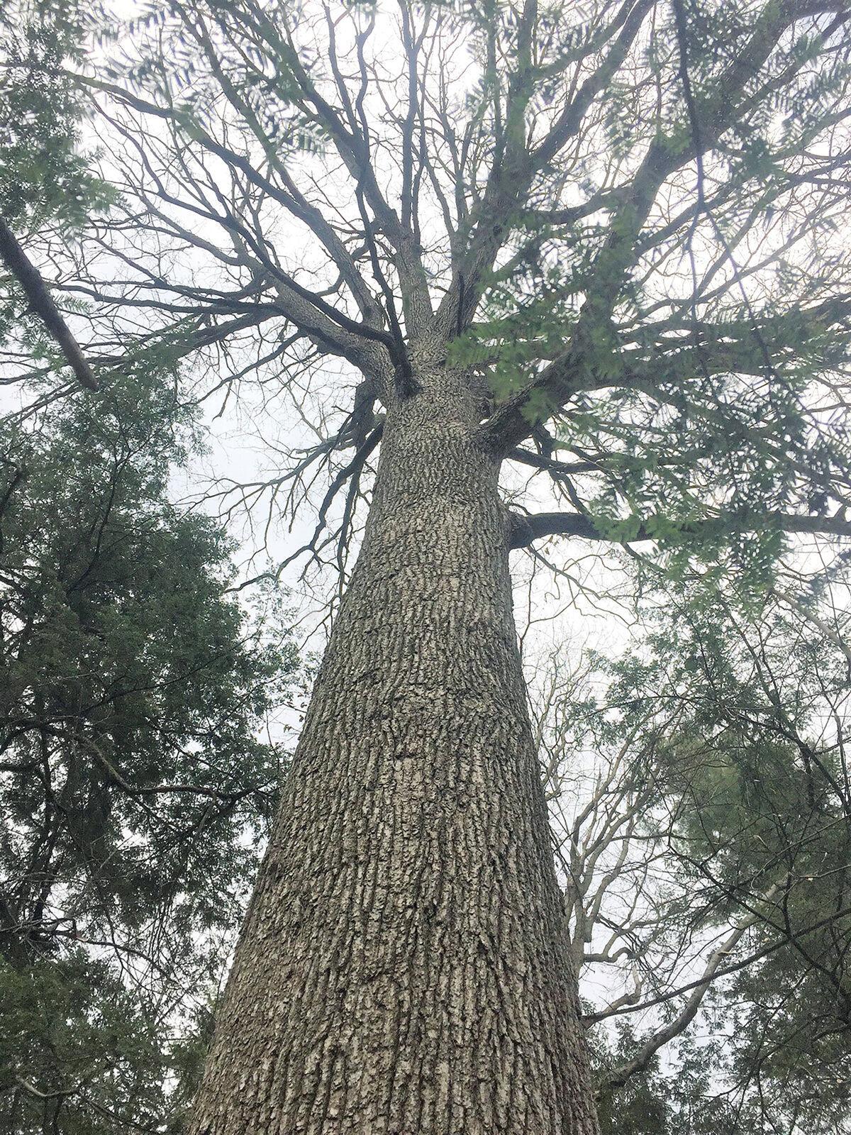 Wood from oak trees