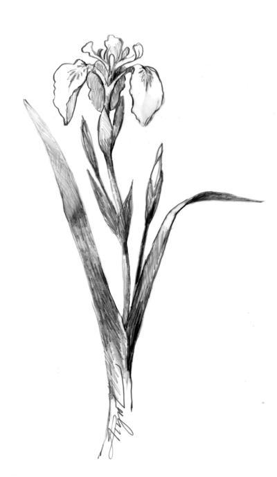 Battling beautiful, but invasive yellow flag iris