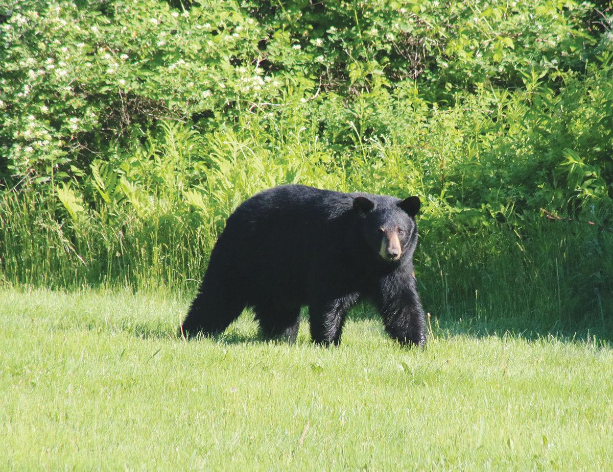 Bear in Stowe
