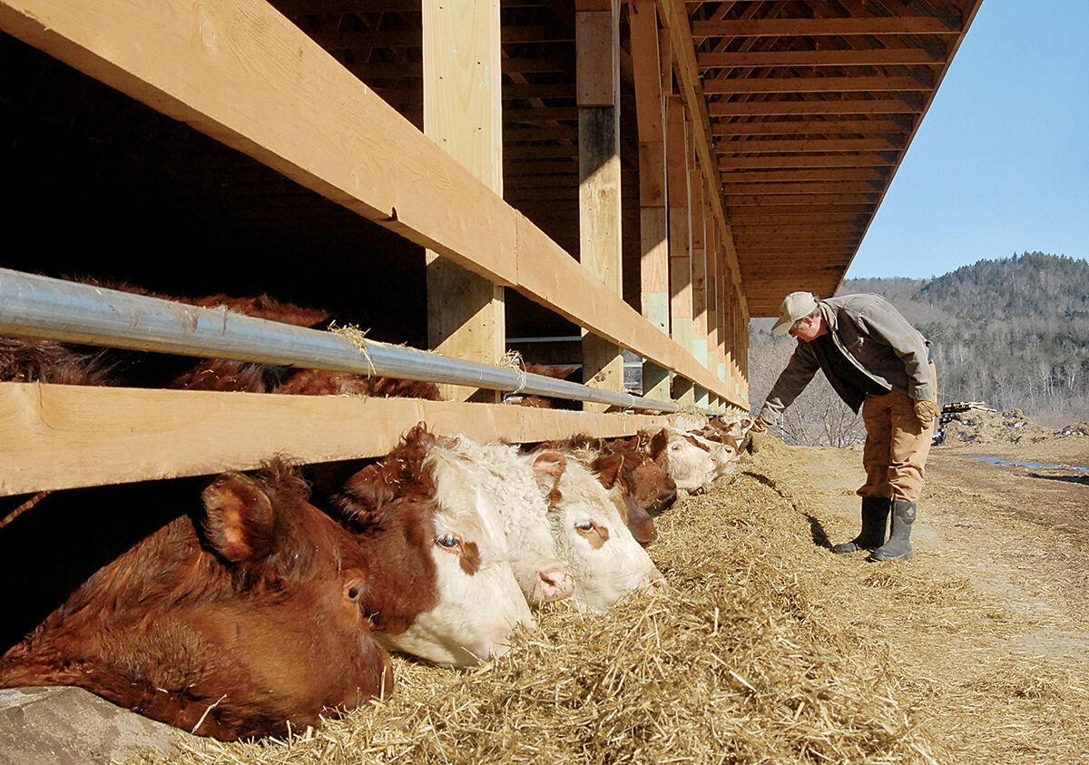 Mark Boyden with cows