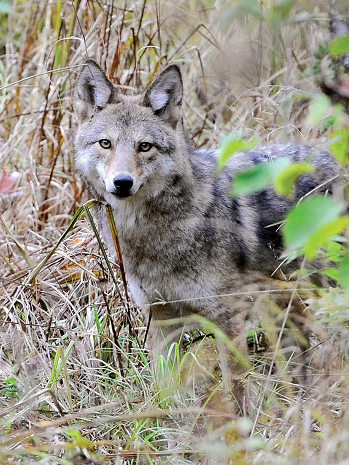 An Eastern coyote from northern Maine